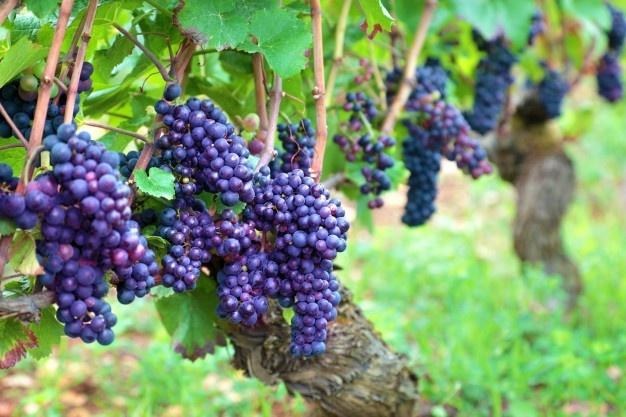 Bituruna terra do vinho e da Uva de casca dura