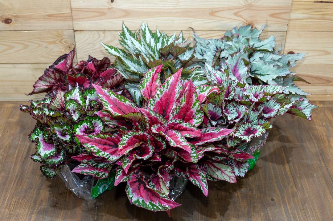 Flores e Plantas Ornamentais: Modas E Tendências em Lançamentos para a Primavera 2020. Parte I: BEGÔNIAS