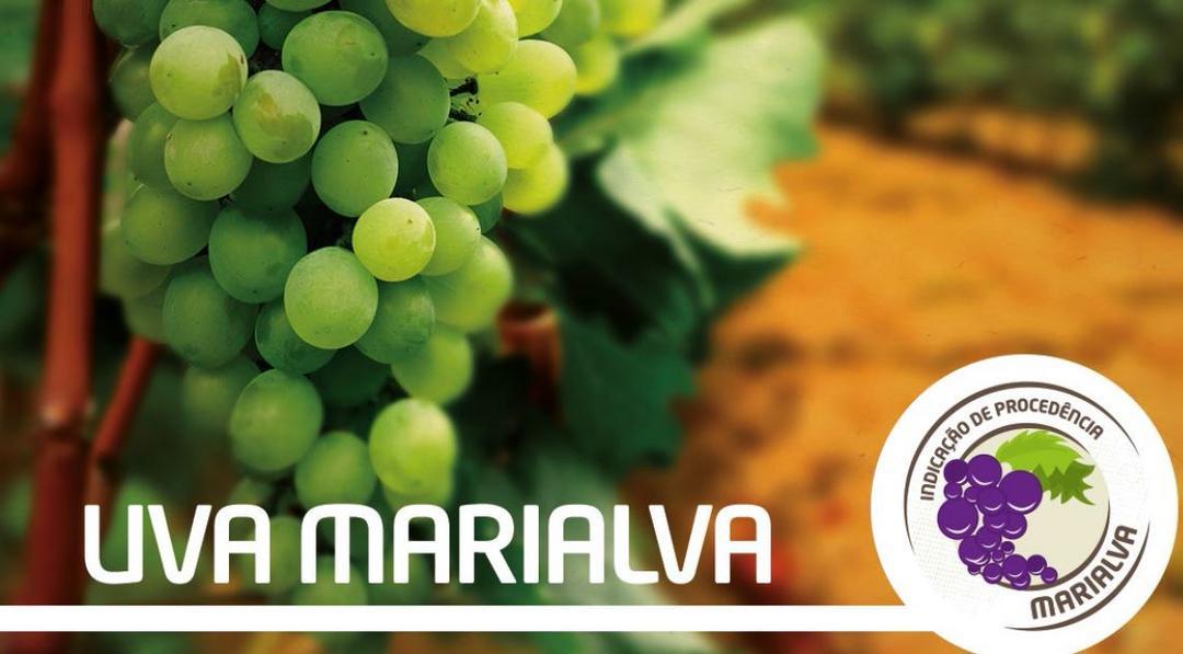 A Indicação Geográfica pode ser um ótimo Negócio para as Uvas Finas de Marialva