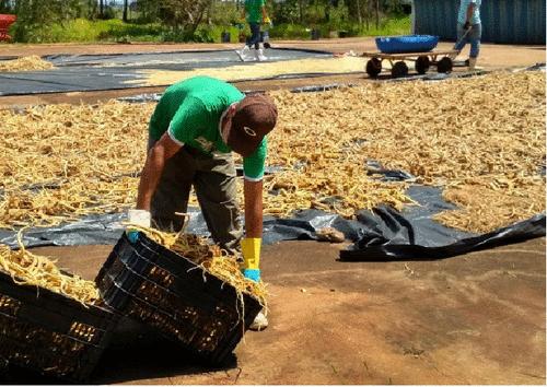 O Ginseng brasileiro e a sustentabilidade