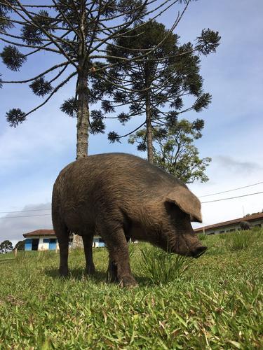 Origem: Paraná | Ele é feinho | Alimentado fica enorme | Faz bagunça na terra... mas é gostoso!